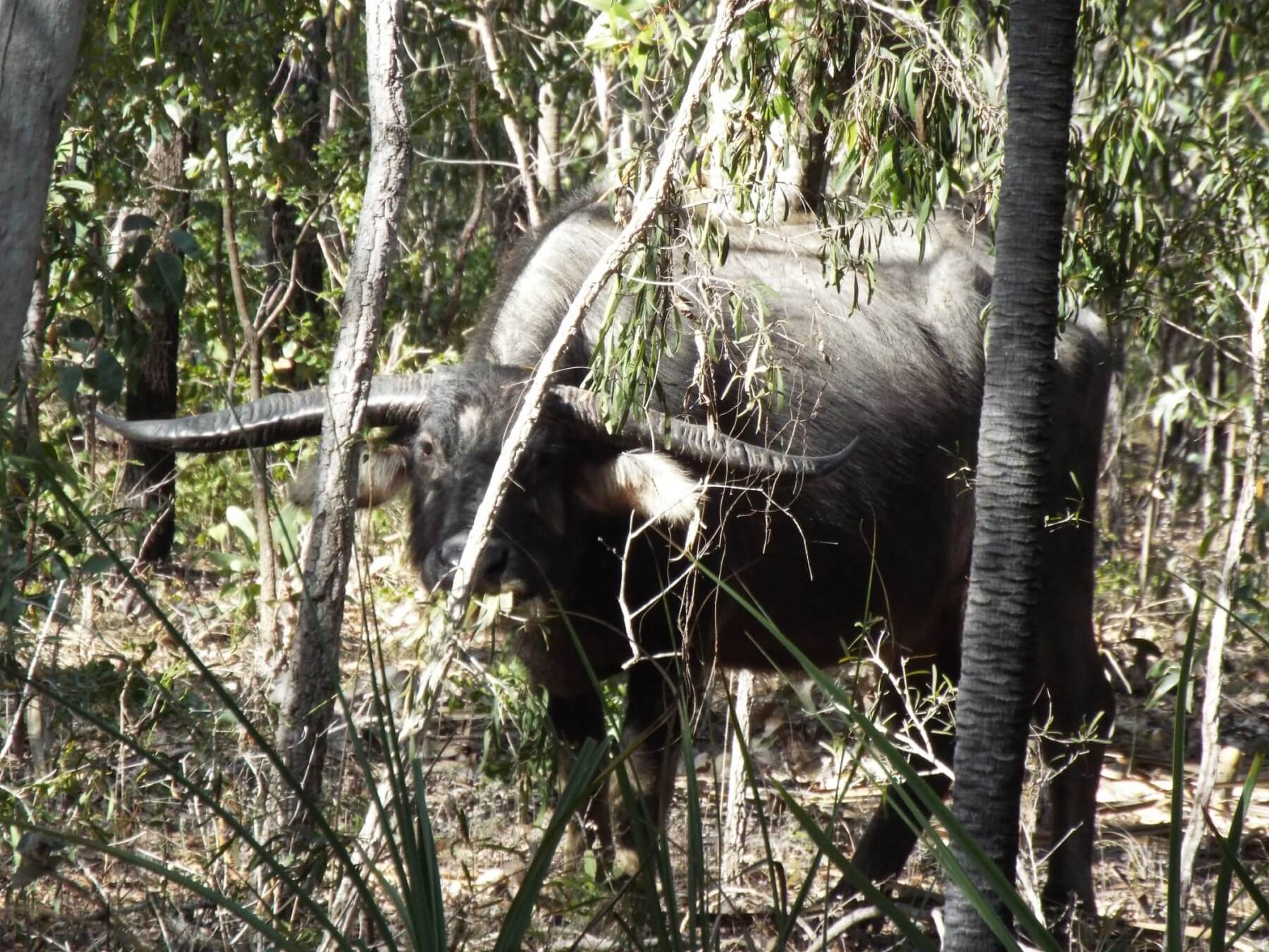 50 Inch Water Buffalo