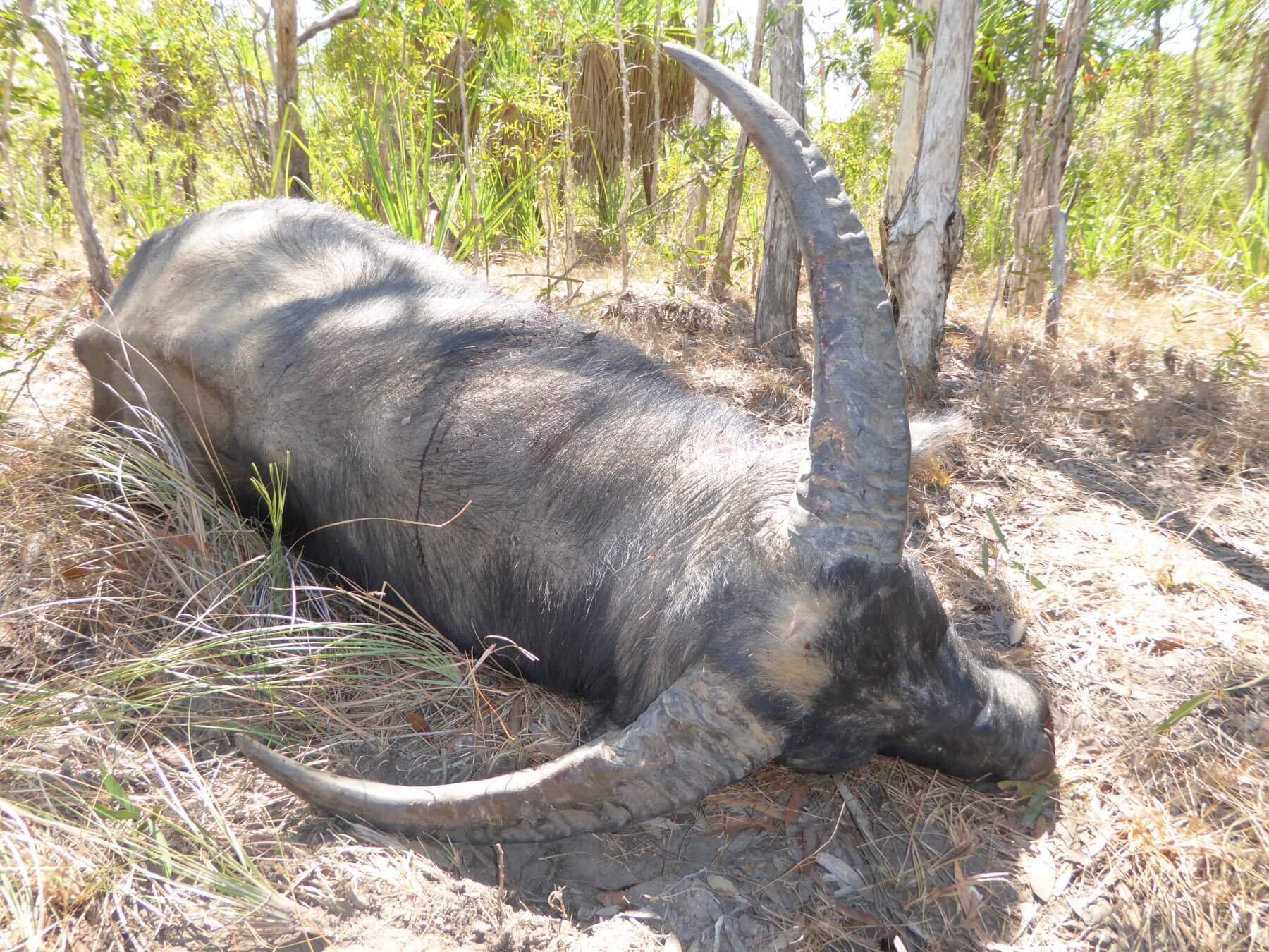 Arnhem Land wild Buffalo hunting