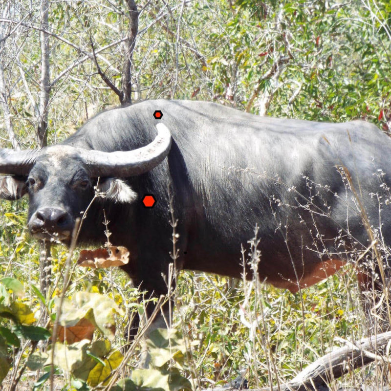 Australian Water Buffalo Shot Placement
