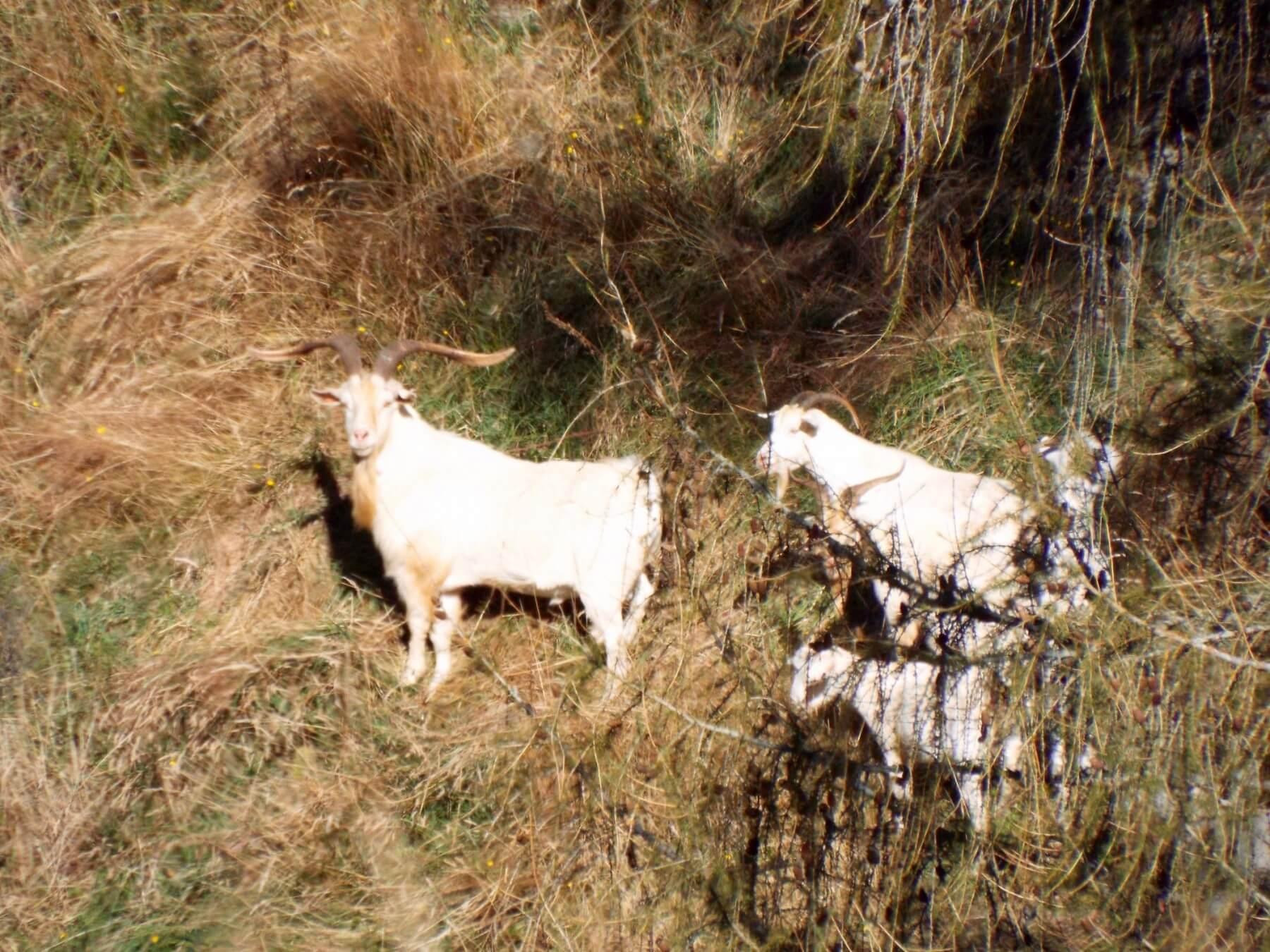 alpine goats new zealand