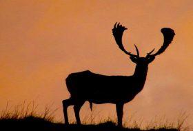 fallow buck silhouette