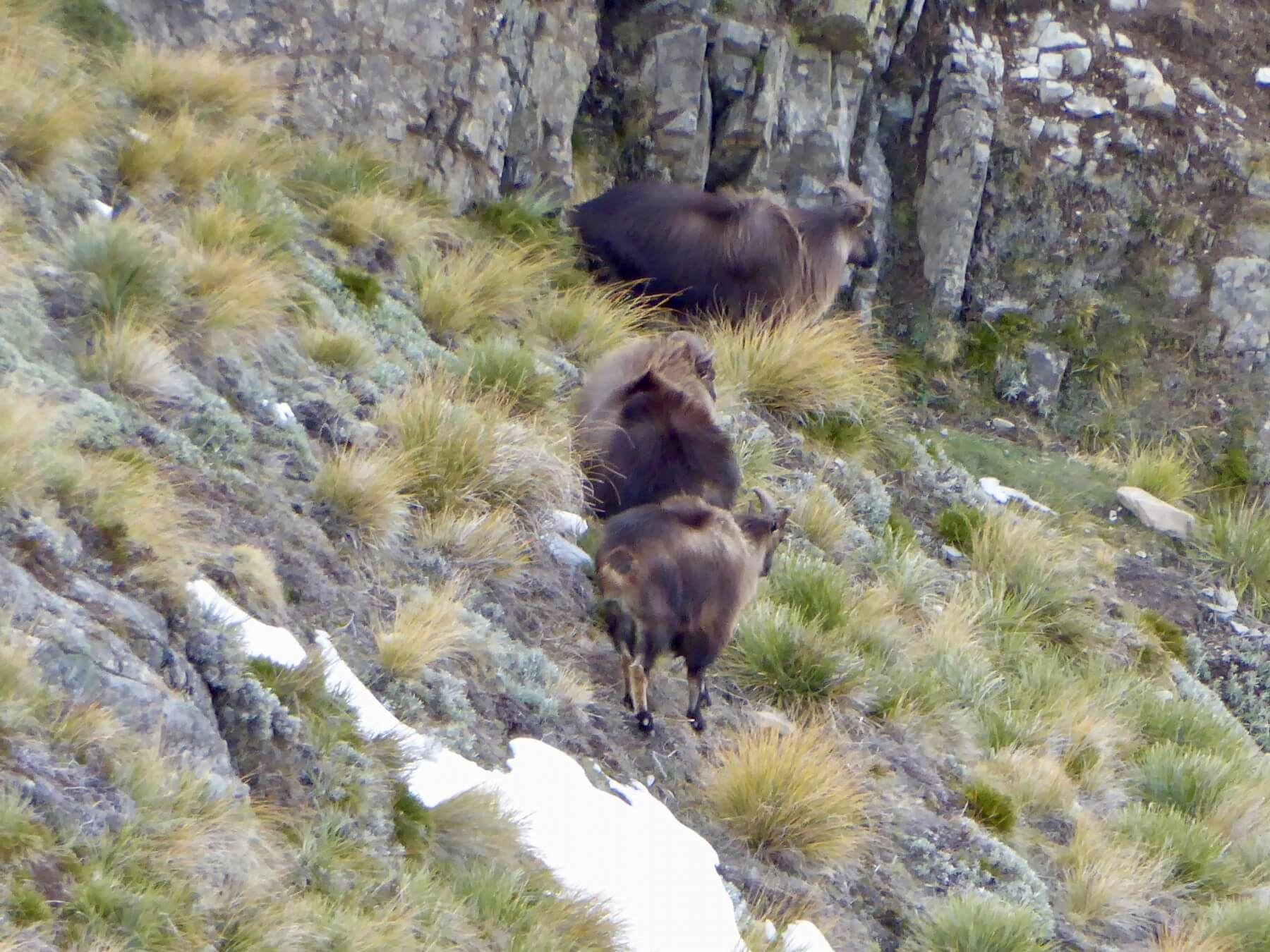 Wild Bull Tahr New Zealand Foot Hunting