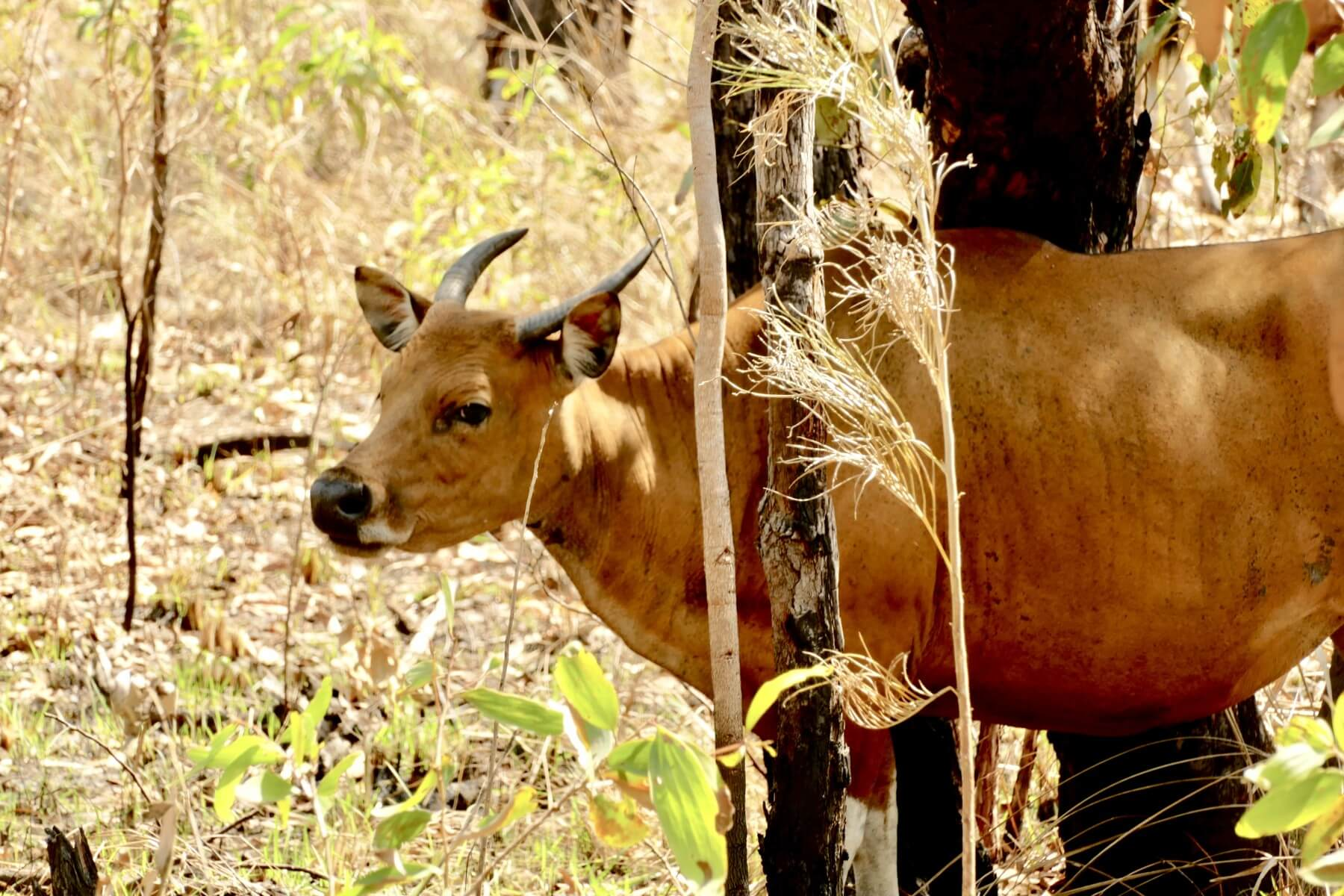 Free range Cow Banteng Australia