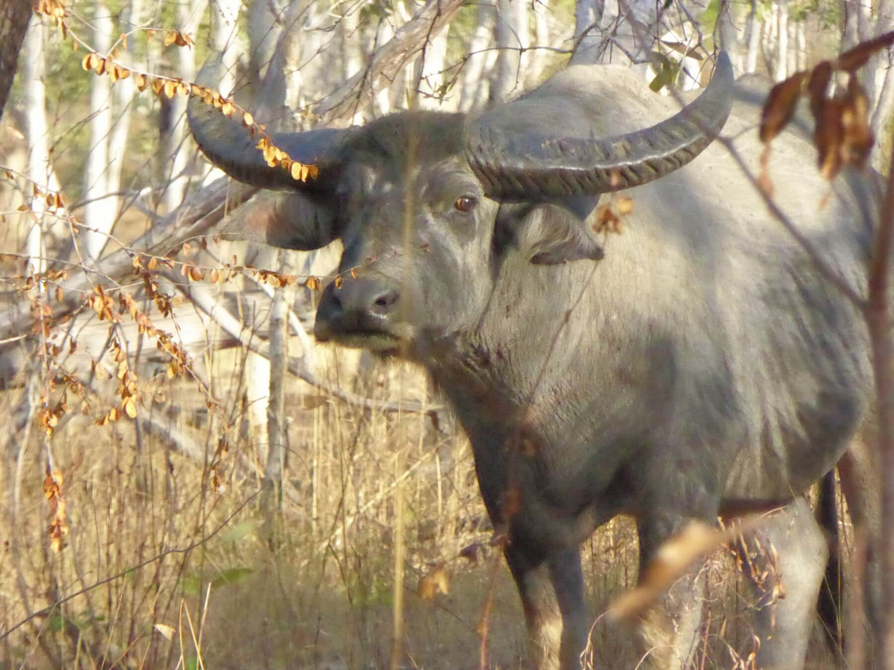 Free range water buffalo hunts Australia