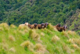arapawa ram line up in New Zealand