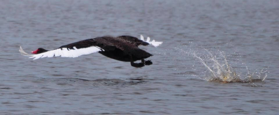 new zealand waterfowl landing