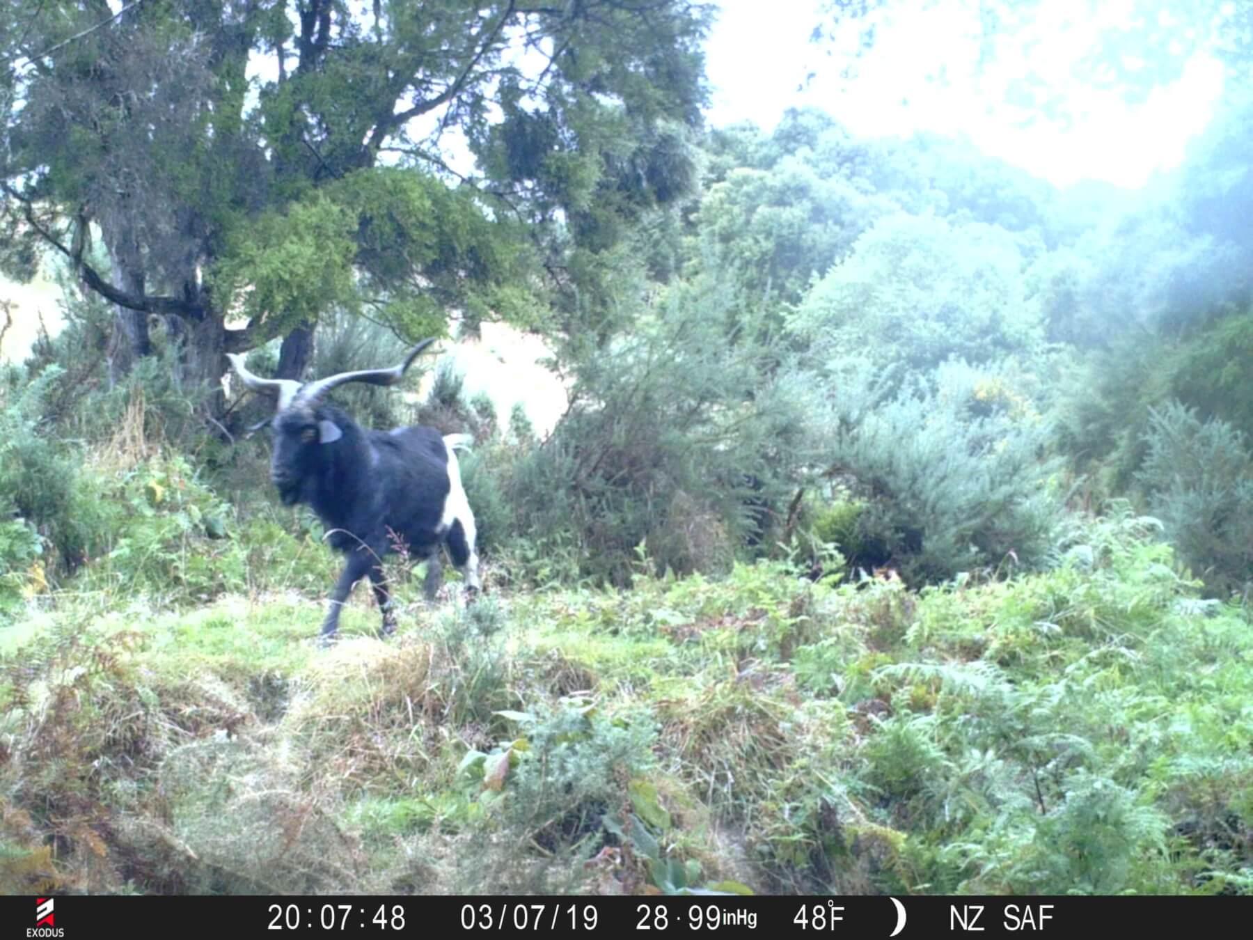 alpine goat trail cam