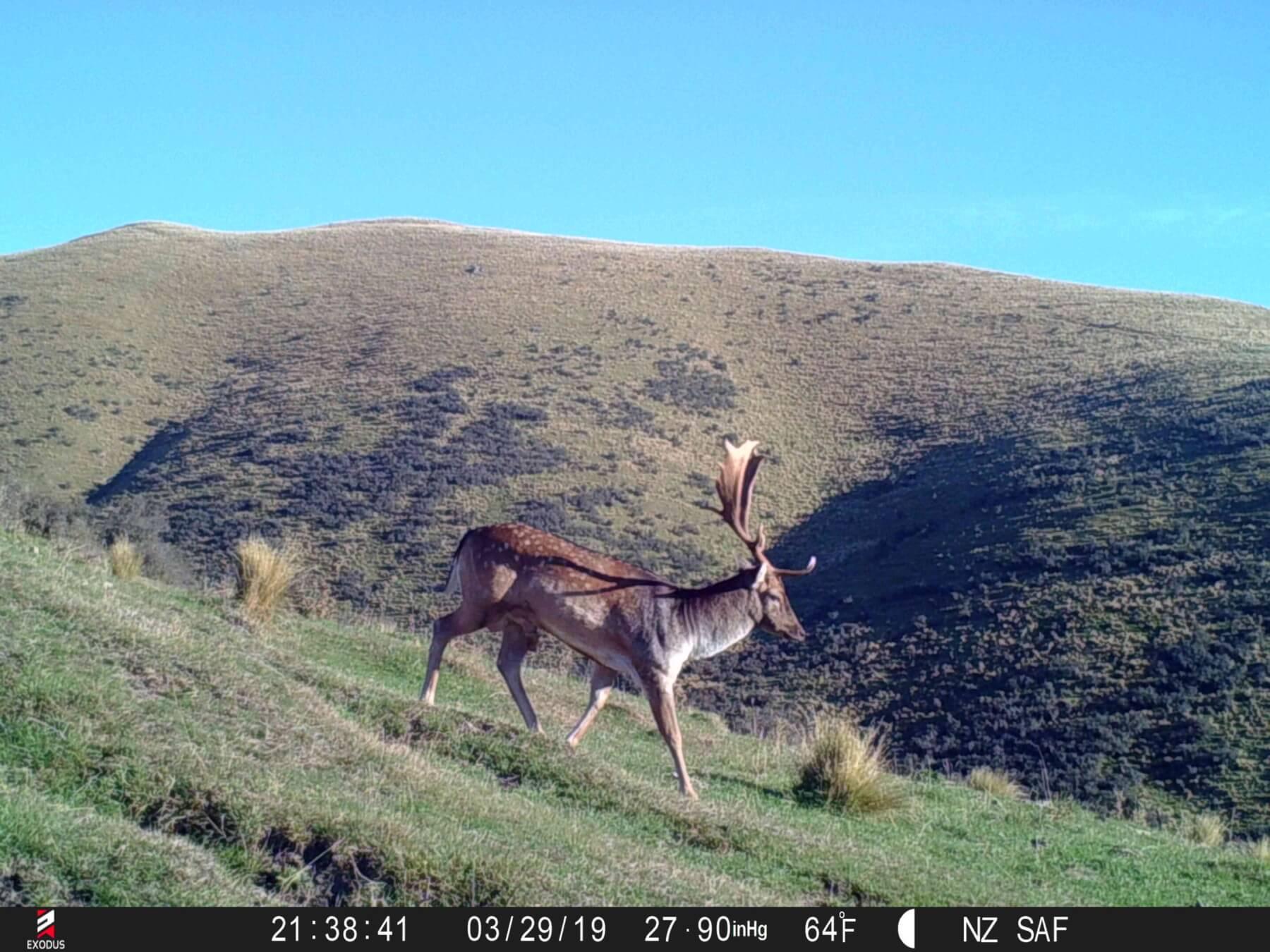 fallow buck game camera