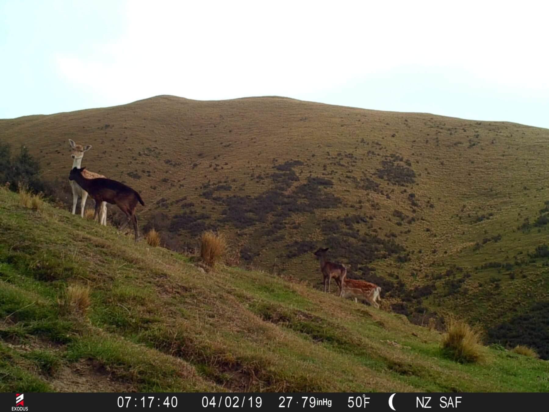 fallow deer trail camera