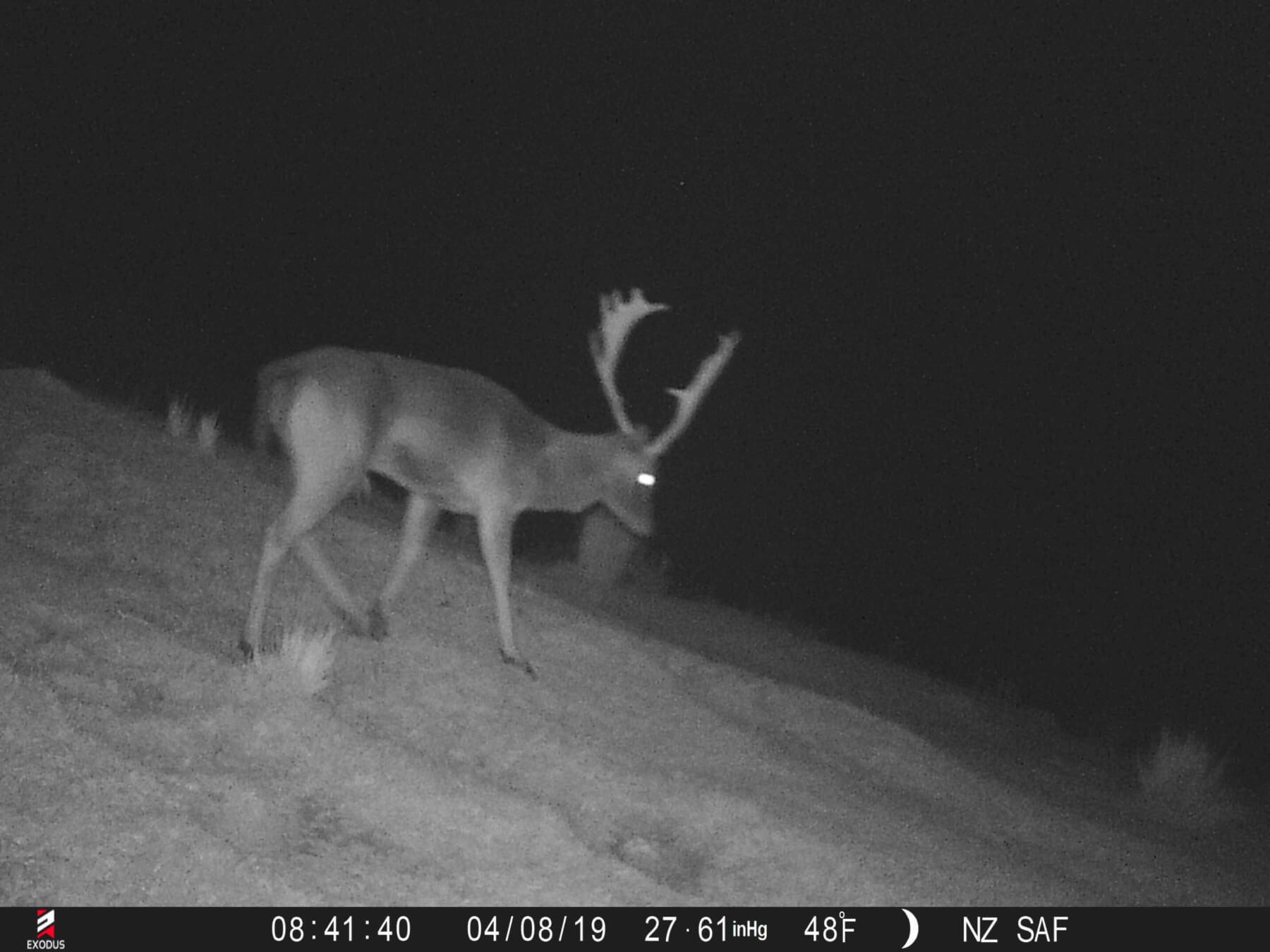 fallow buck trail camera