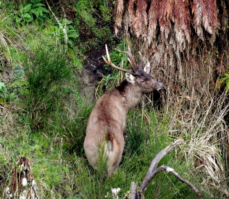 New Zealand Safaris - Sambar Deer Hunting