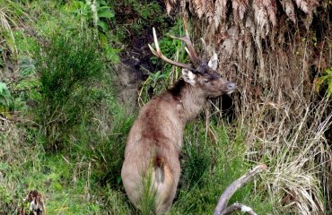 New Zealand Safaris - Sambar Deer Hunting