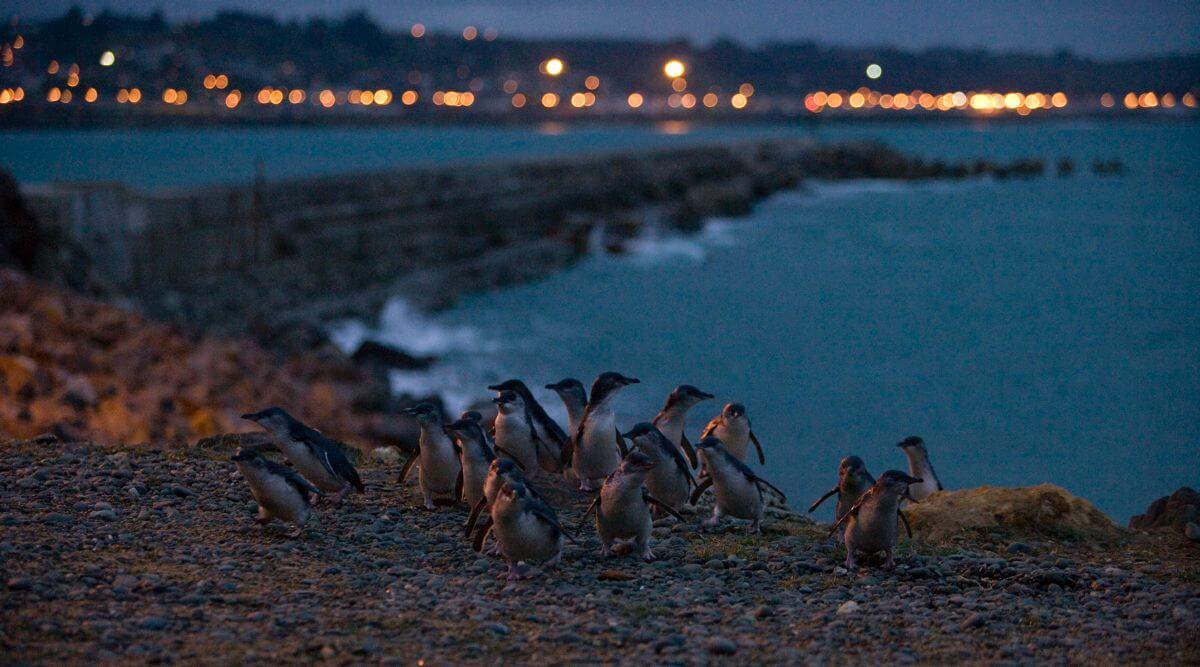 Oamaru Penguins Photo