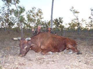 wild free range australian oxen