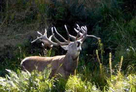 Red Stag Roar ~ Jim Gibson's New Zealand Safaris