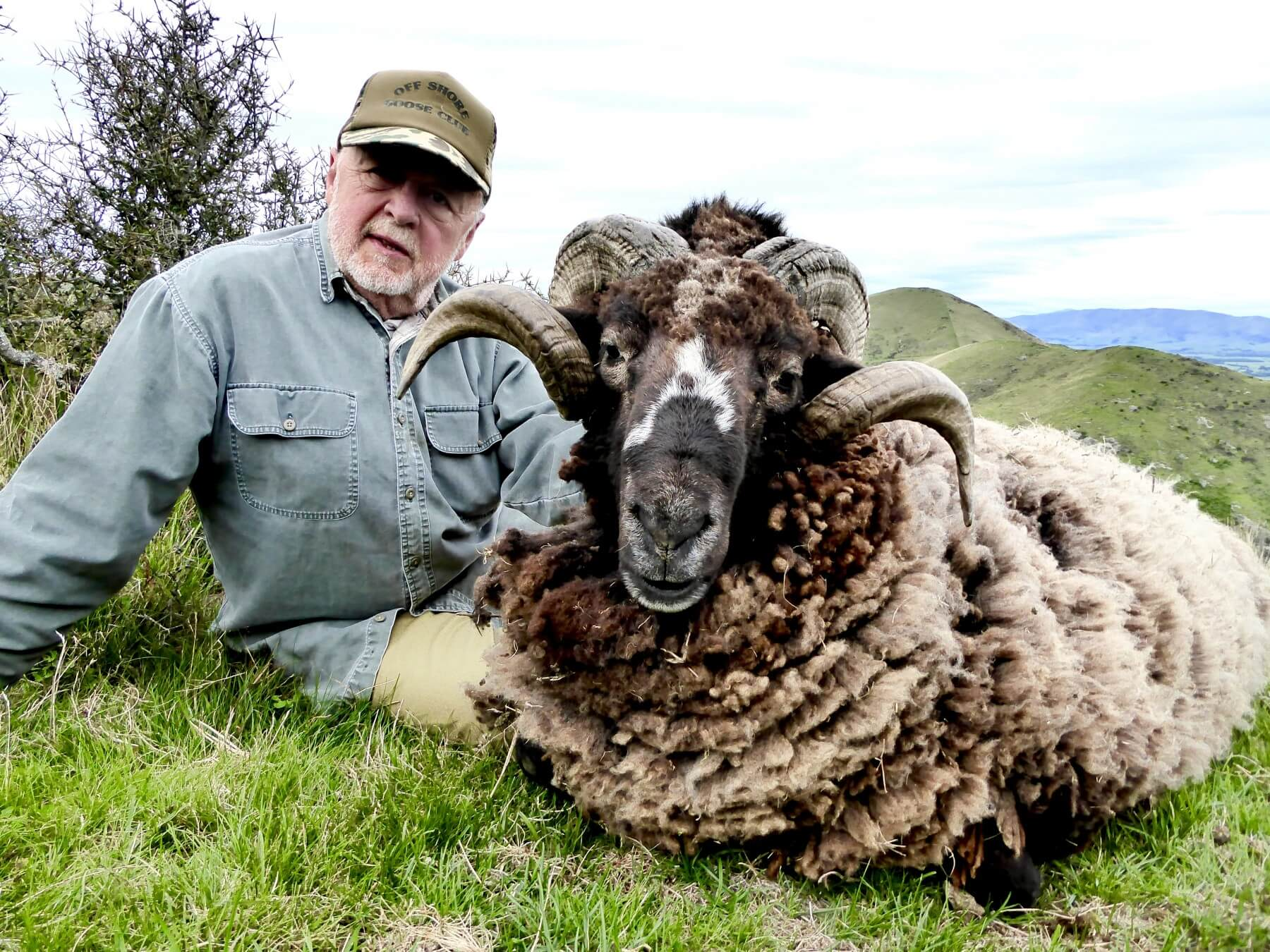 2 curl Arapawa Ram New Zealand Hunting Trophy