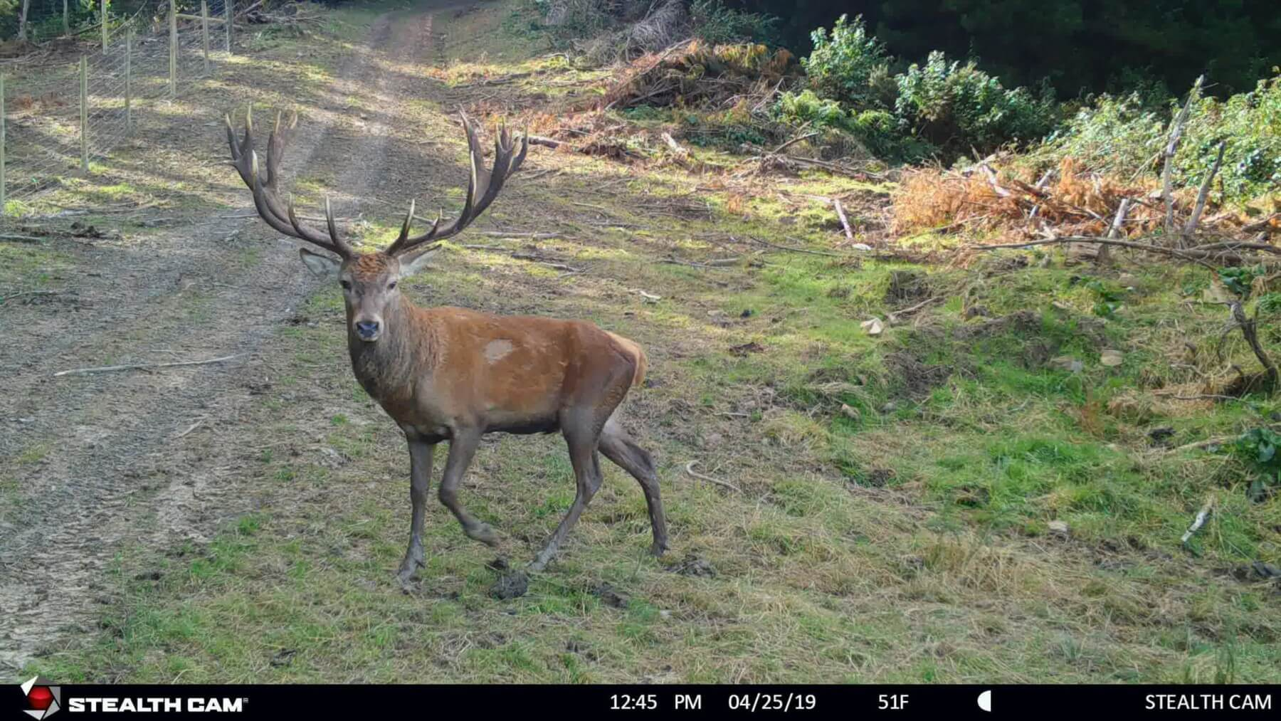 trail camera new zealand stag