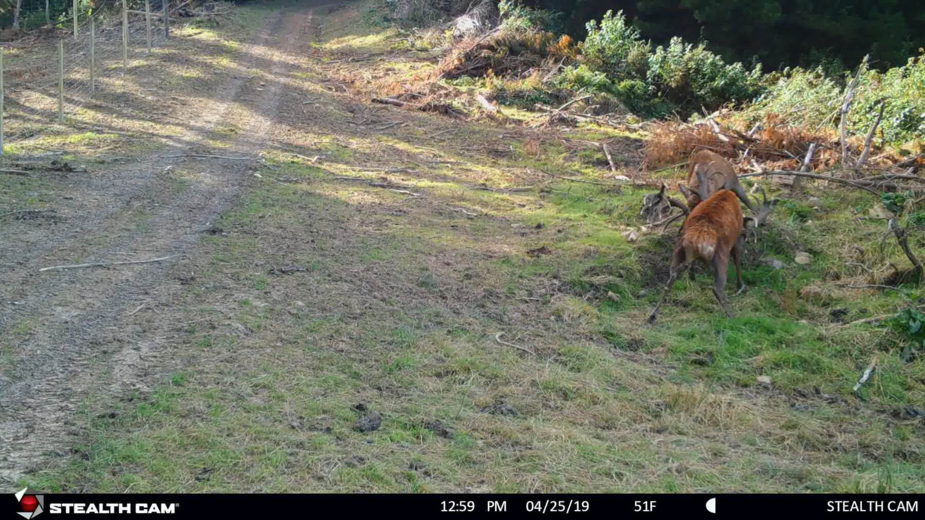 stag fight trail cam