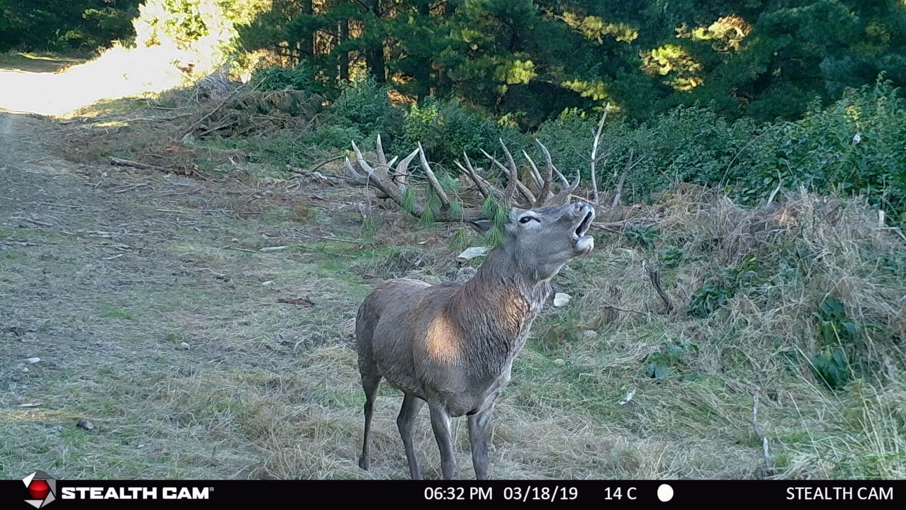 trail cam stag roaring