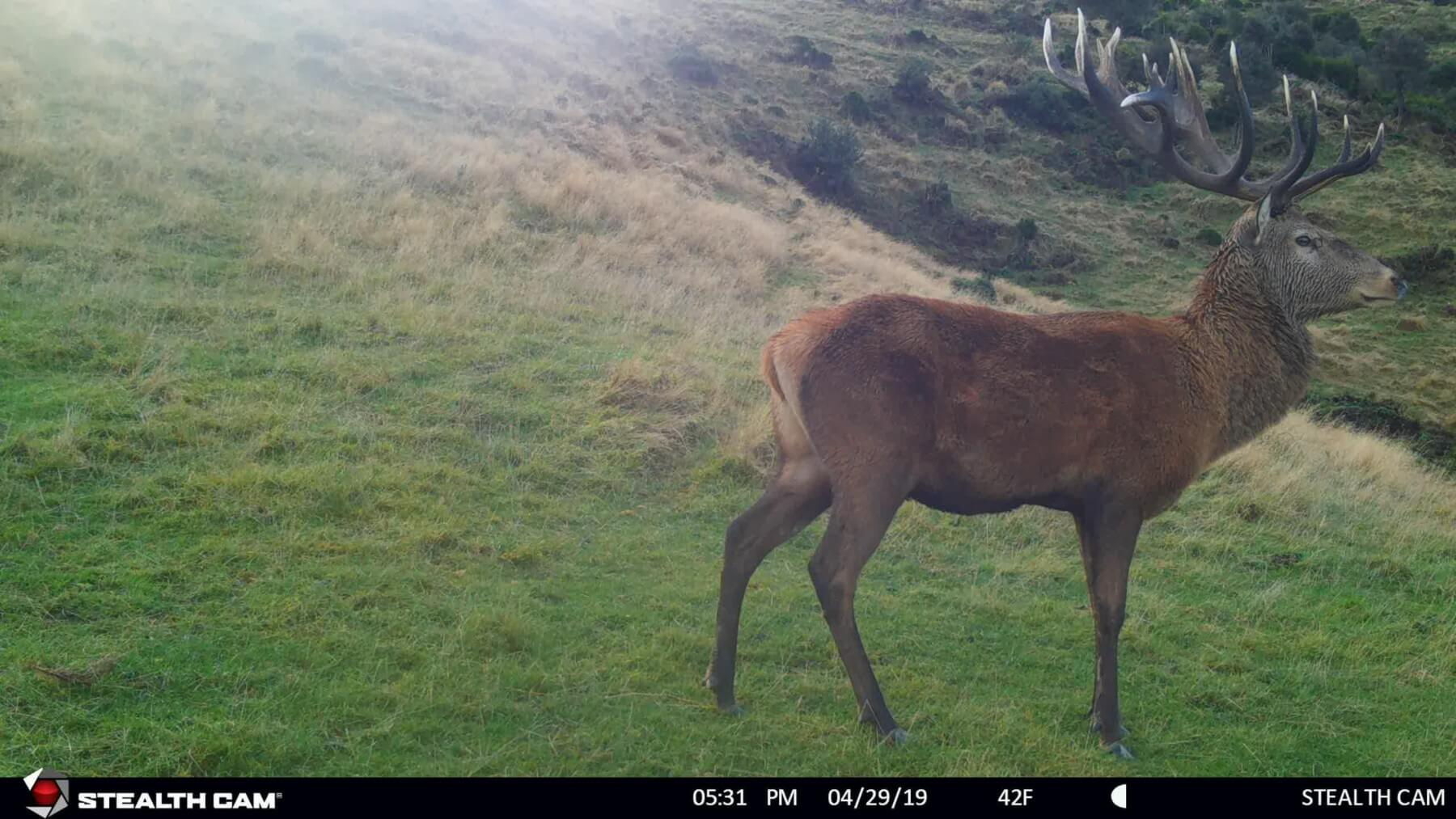 stag on trail cam
