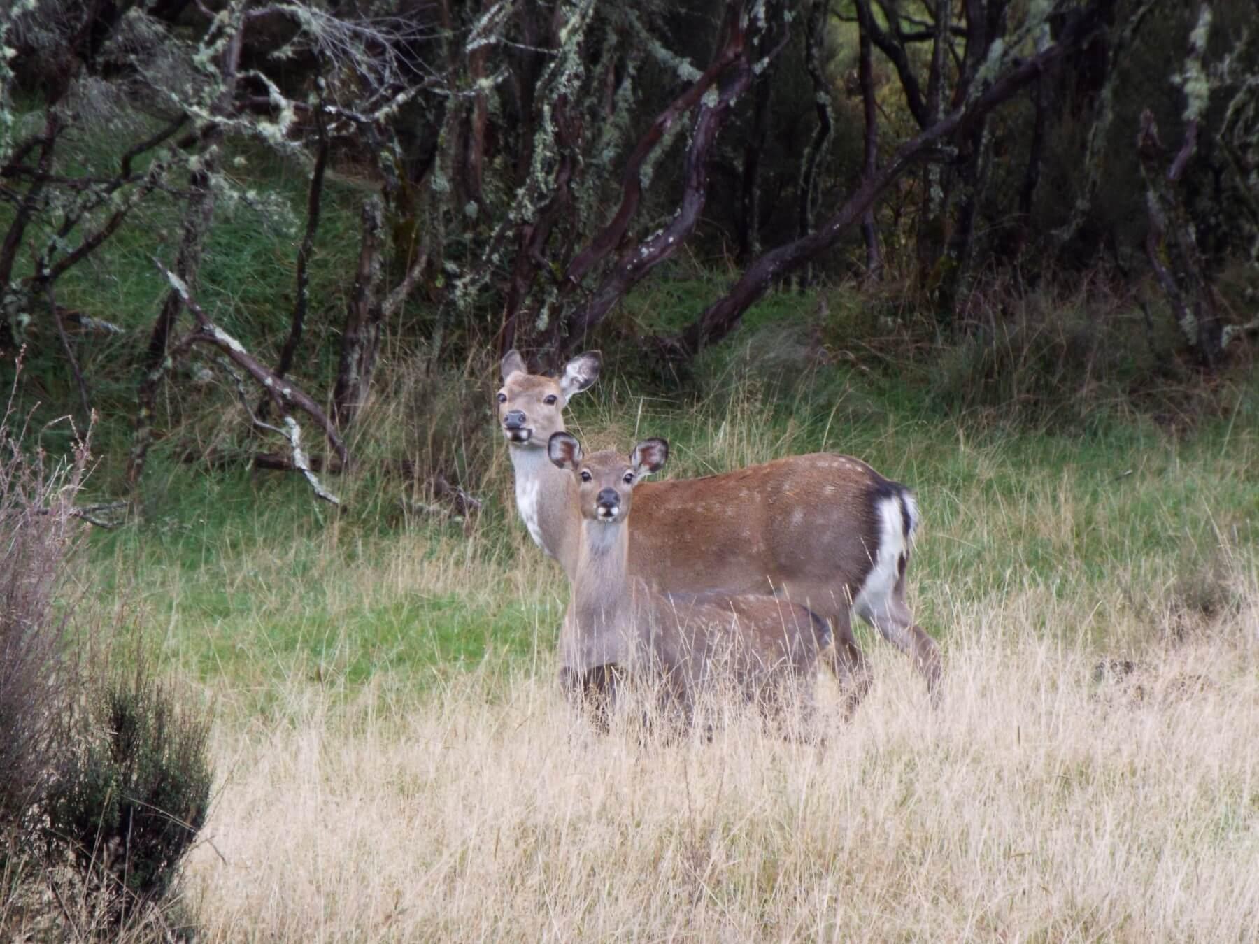 wild free range sika deer
