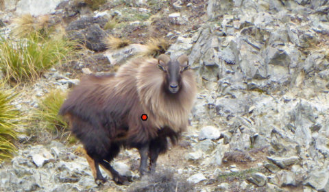Tahr Shot Placement