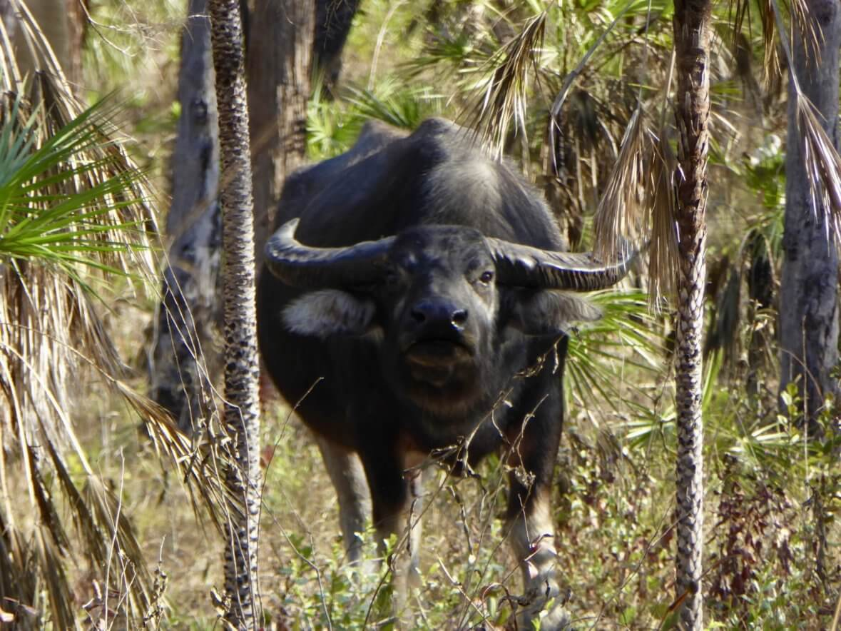 Australia water buffalo hunting trophy