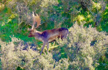 wild New Zealand fallow buck