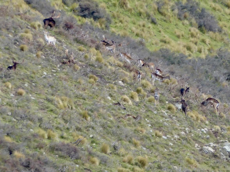 wild fallow bucks in new zealand