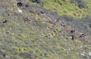 wild fallow bucks in new zealand