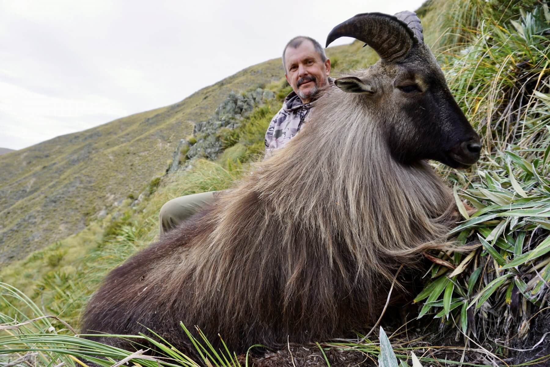 free range on foot New Zealand tahr hunting trophy- 10 year old