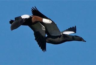 paradise ducks new zealand