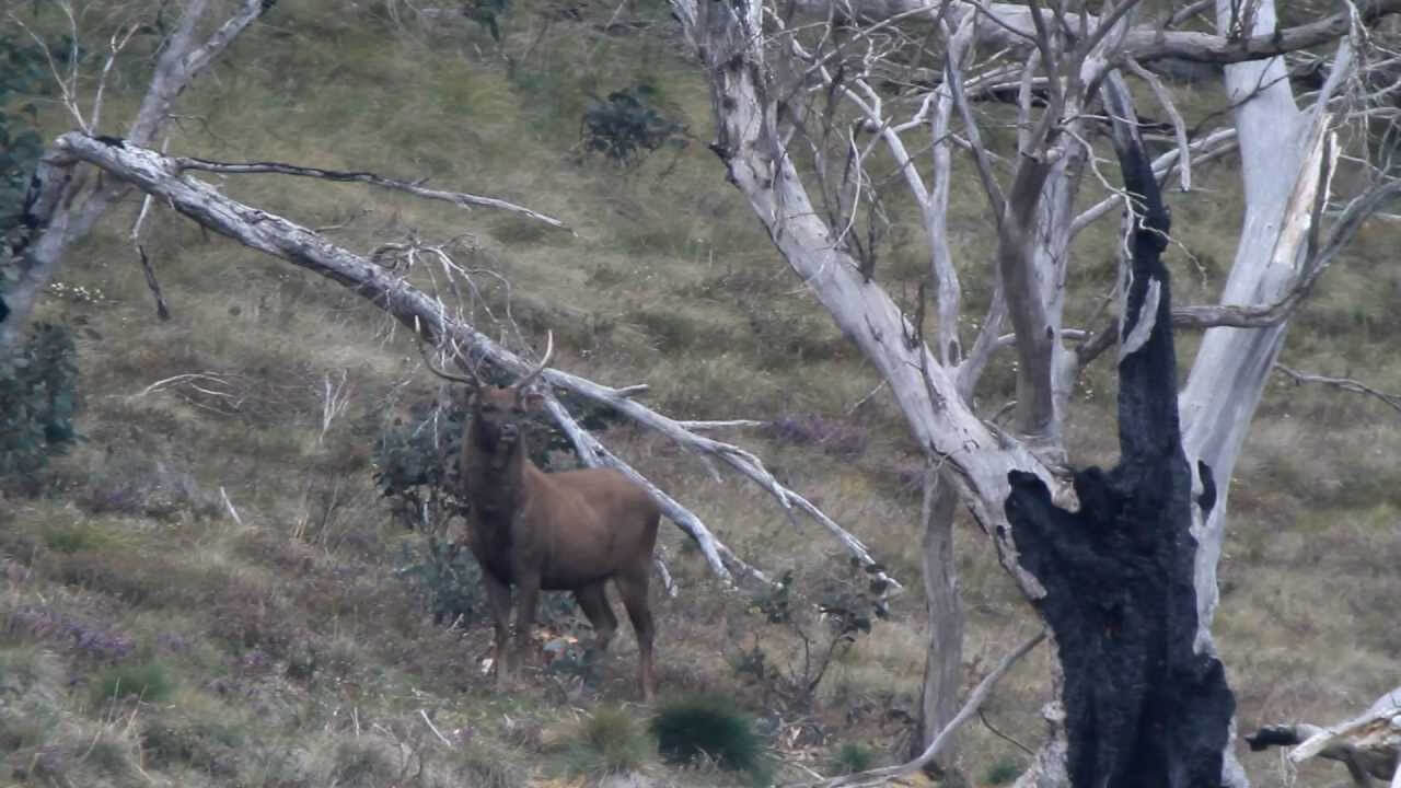 sambar deer in trees
