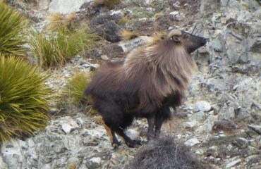 trophy tahr new zealand safaris